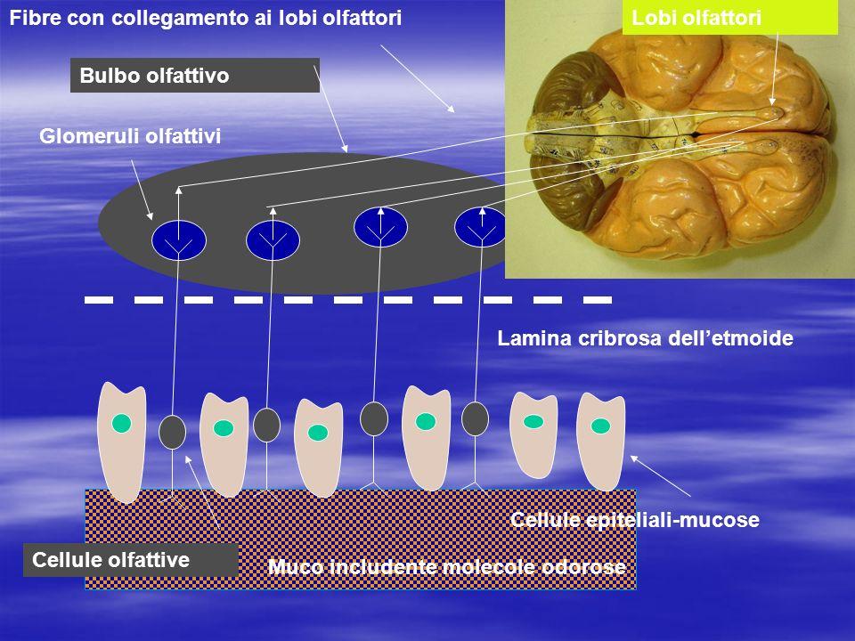 Lobi olfattori Bulbo olfattivo Glomeruli olfattivi Lamina cribrosa delletmoide Cellule epiteliali-mucose Cellule olfattive Muco includente molecole odorose Interazione tra molecole e fibre nervoseImpulso nervoso