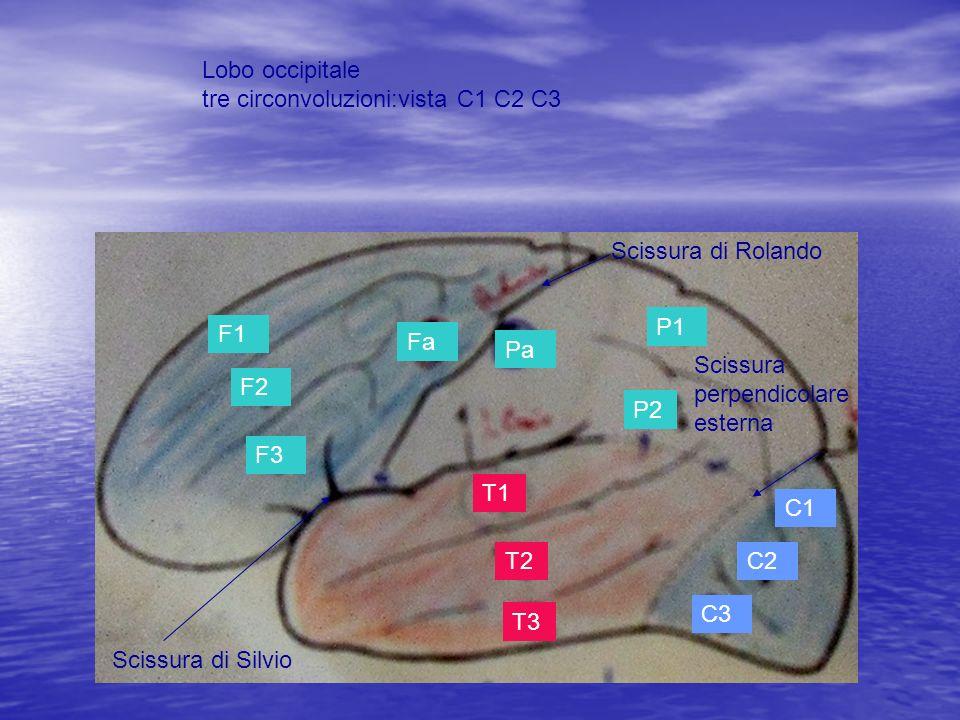 F1 F2 F3 Fa Pa P1 P2 T1 T2 T3 C1 C2 C3 Scissura di Rolando Scissura di Silvio Scissura perpendicolare esterna Lobo occipitale tre circonvoluzioni:vist