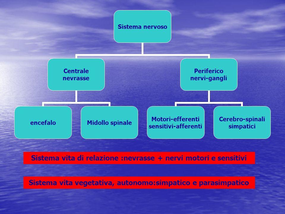 Aree corticali aree motorie per impulsi motori volontari e involontari lobo frontale, circonvoluzione prerolandica area 4 > via piramidale crociata area 6 > via motrice extrapiramidale Aree sensitive, ricevono impulsi della sensibilità generale tattile, termica, dolorifica, profonda lobo parietale, circonvoluzione postrolandica area 1,2,3,7 Area uditiva: lobo temporale, area 41,42,22 presso scissura di Silvio e T1 area visiva lobo occipitale: area 17,18,19 presso calcarina Area del gusto circonvoluzione dellippocampo area olfatto circonvoluzione ippocampo, corpo calloso