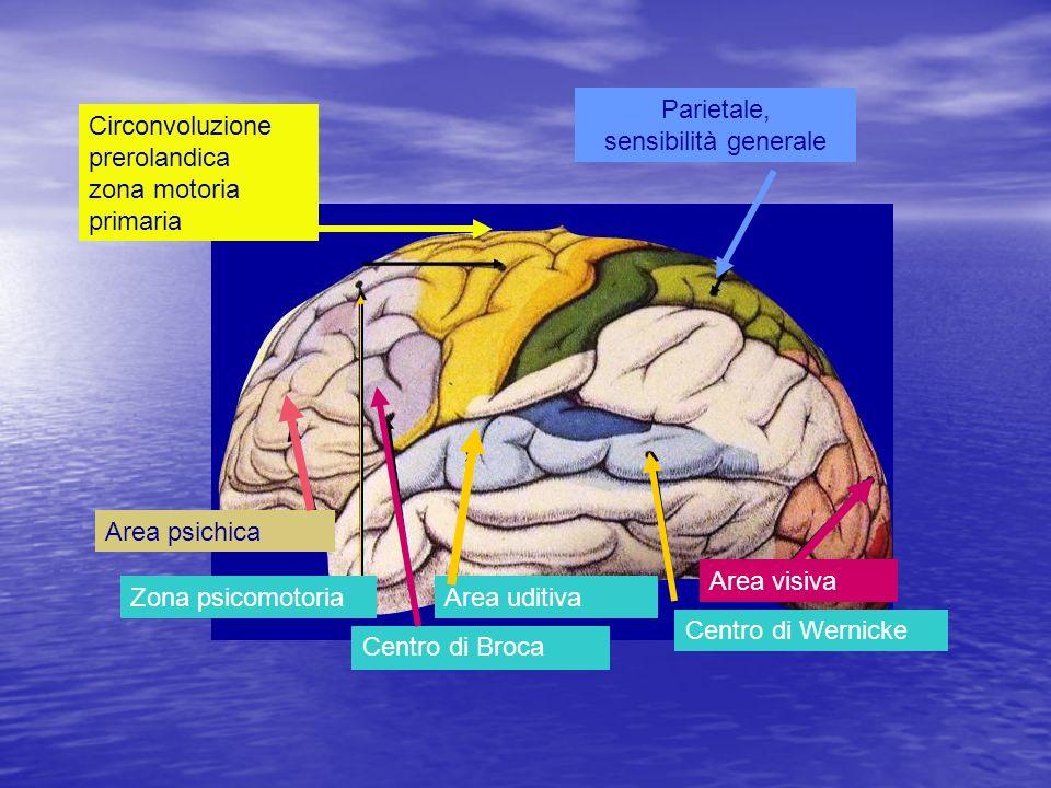 Parietale, sensibilità generale Circonvoluzione prerolandica zona motoria primaria Zona psicomotoria Centro di Broca Area uditiva Centro di Wernicke A