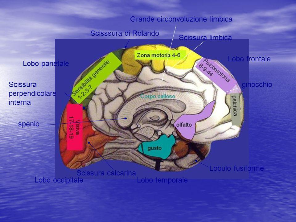 Lobo occipitaleLobo temporale Lobo parietale Lobo frontale Scisssura di Rolando Scissura perpendicolare interna Lobulo fusiforme Scissura calcarina sp