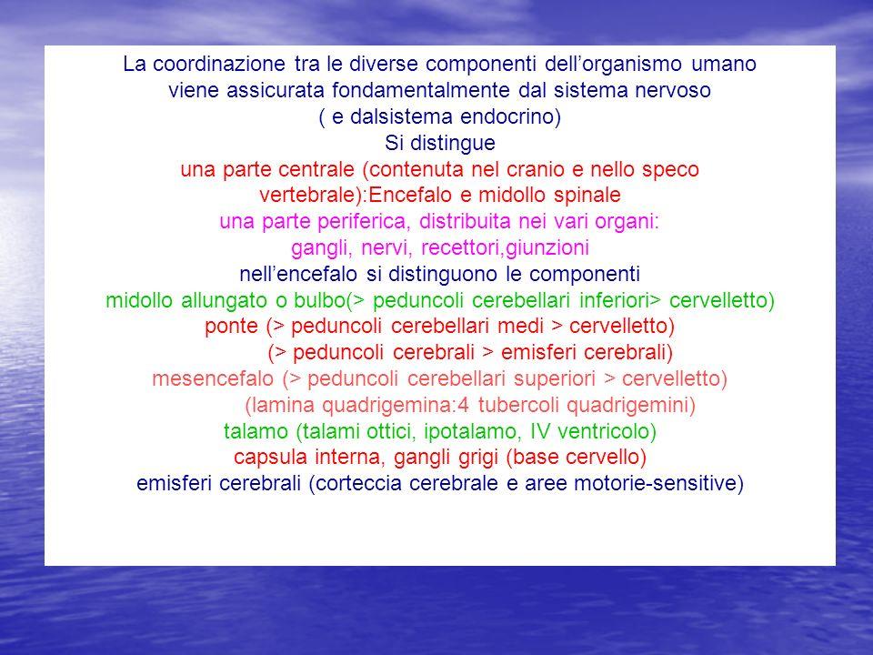 Localizzazioni frontale:Fa-circonvoluzione prerolandica:area motrice elementare,piramidale F1,F2,F3 circonvoluzione:area motrice involontaria, extrapiramidale centri scrittura F2, linguaggio Broca F3 area soppressoria :tra le due Lobo parietale: Pa-postrolandica :area sensitiva primaria P1 parietale superiore P2 parietale inferiore Lobo temporale tre circonvoluzioni T1 T2 T3 superiore:area acustica primaria < genicolato mediale centro di Wernekink, Kussmaul Lobo insula lobulo anterior e posteriore Lobo occipitale tre circonvoluzioni:vista C1 C2 C3 Faccia laterale emisferi cerebrali