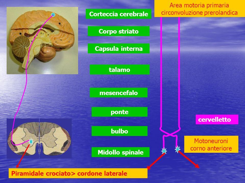 Midollo spinale bulbo ponte mesencefalo talamo Capsula interna Corpo striato Corteccia cerebrale cervelletto Area motoria primaria circonvoluzione pre