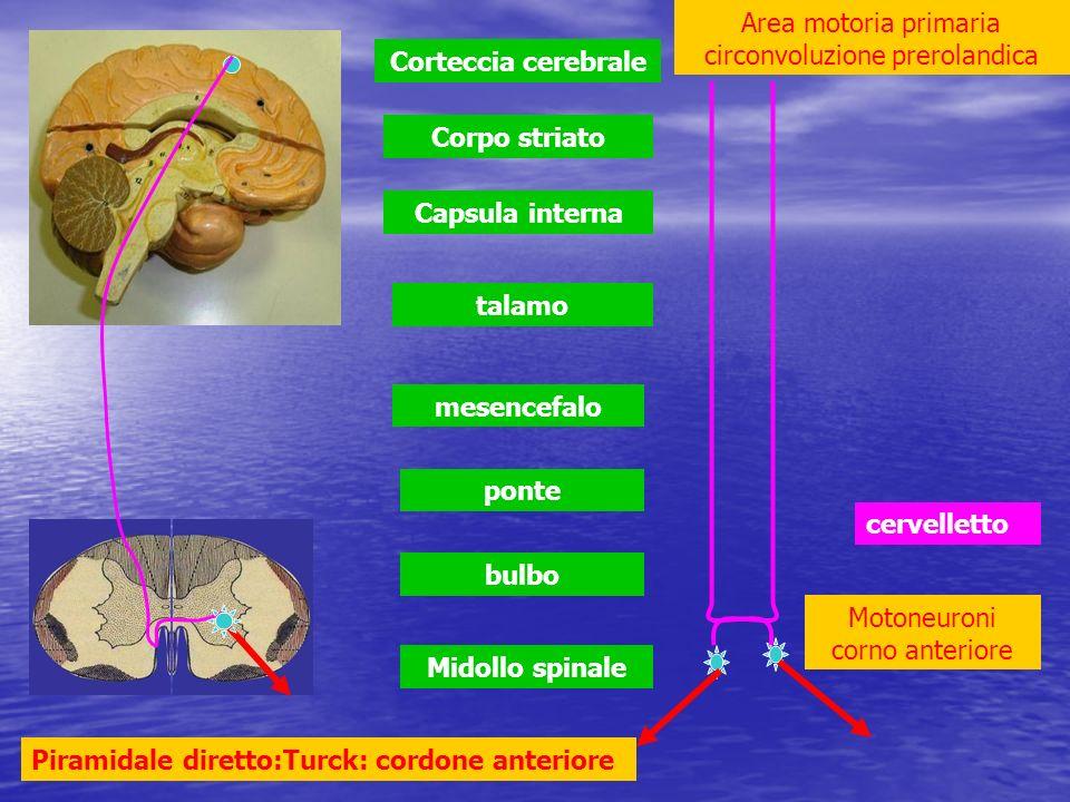 bulbo ponte mesencefalo talamo Capsula interna Corpo striato Corteccia cerebrale cervelletto Area motoria primaria circonvoluzione prerolandica Motone