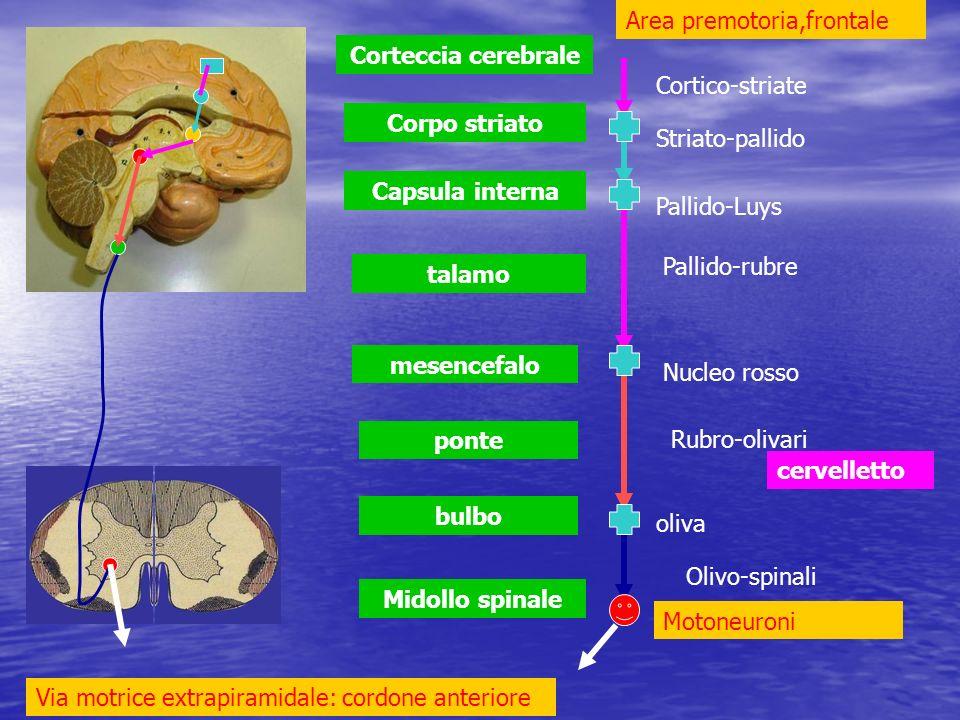 Midollo spinale bulbo ponte mesencefalo talamo Capsula interna Corpo striato Corteccia cerebrale cervelletto Area premotoria,frontale Nucleo rosso oli