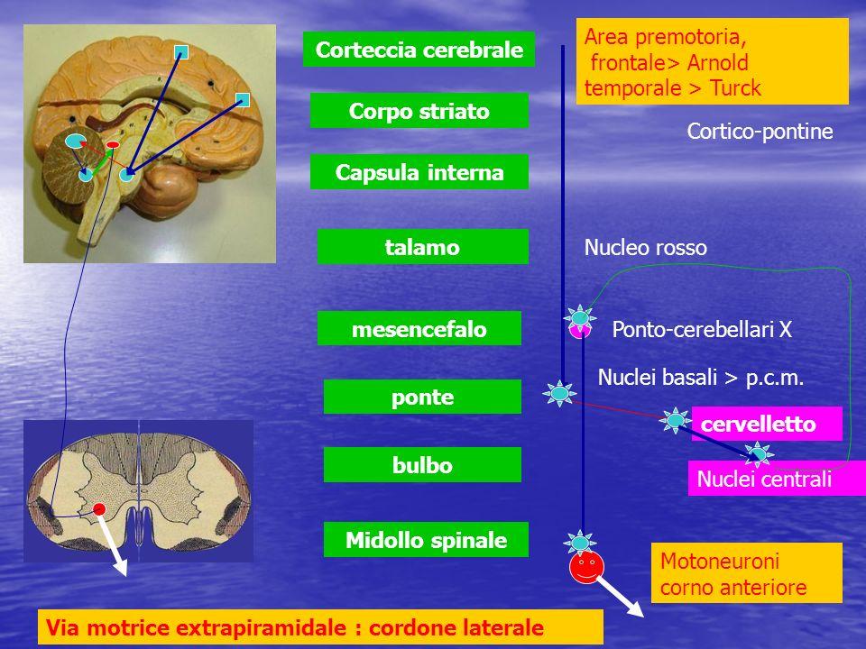 Midollo spinale bulbo ponte mesencefalo talamo Capsula interna Corpo striato Corteccia cerebrale cervelletto Via motrice extrapiramidale : cordone lat