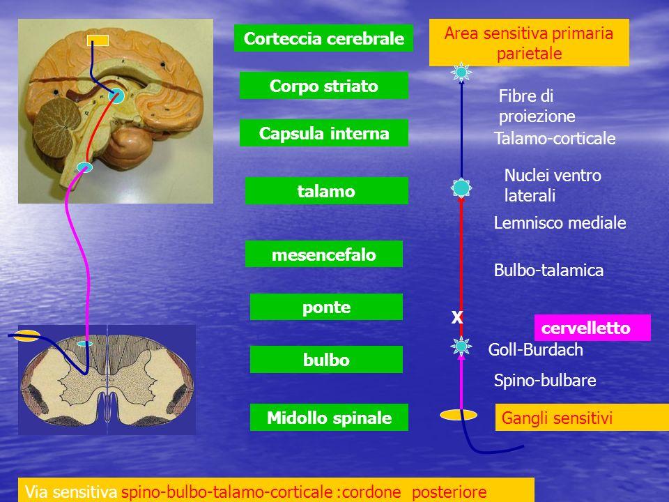 Midollo spinale bulbo ponte mesencefalo talamo Capsula interna Corpo striato Corteccia cerebrale cervelletto Via sensitiva spino-bulbo-talamo-cortical