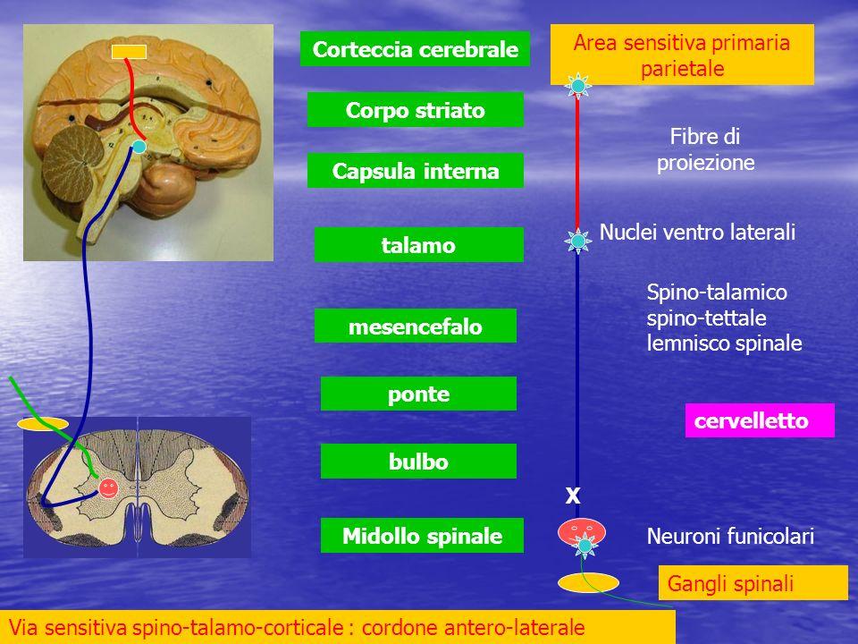 Midollo spinale bulbo ponte mesencefalo talamo Capsula interna Corpo striato Corteccia cerebrale cervelletto Via sensitiva spino-talamo-corticale : co