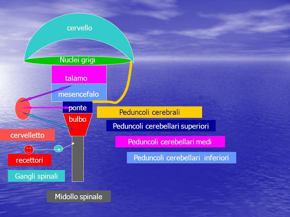 Le informazioni percepite mediante vari tipi di recettori o fibre nervose giungono ai centri del cervello mediante i nervi cranici o spinali che seguono vie con varie interruzioni e sinapsi nei nuclei presenti nelle diverse parti del midollo spinale ed encefalo Le risposte vengono inviate dai centri corticali ai diversi organi mediante nervi cranici e spinali che prendono origine in nuclei presenti nelle varie parti dellencefalo e del midollo spinale Corpuscoli Vater-Pacini ( ovunque) stimoli di pressione Meissner (dermici) > tattili fusi neuromuscolari (muscoli) tensione e contrazione Chemorecettori lingua, naso, arco aortico, seno carotideo, glomo carotideo
