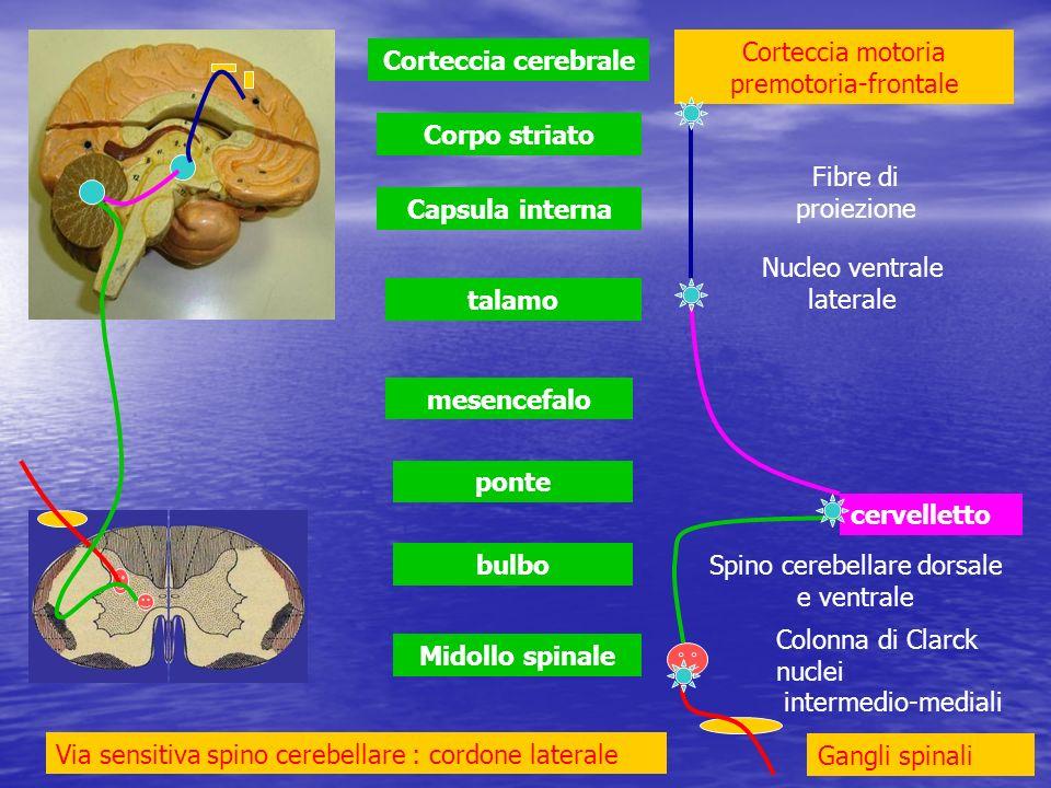 Midollo spinale bulbo ponte mesencefalo talamo Capsula interna Corpo striato Corteccia cerebrale cervelletto Via sensitiva spino cerebellare : cordone