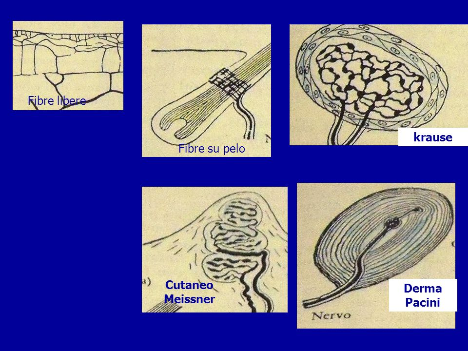 Glomo aortico Seno-glomo carotideo Fuso neuromuscolare