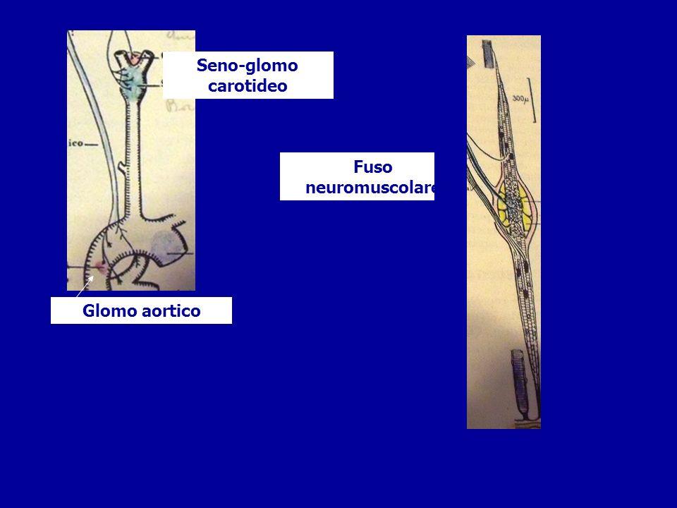 Dalle radici anteriori escono fibre motorie Nelle radici posteriori entrano fibre sensitive, provenienti dai gangli cerebro spinali le fibre dei due tipi si uniscono per formare un nervo, misto, che esce dai fori intervertebrali di coniugazione,e si dirige agli organi da innervare il nervo si suddivide in un ramo anteriore più grosso e uno posteriore più sottile Ramo posteriore Ramo anteriore nervo Ganglio cerebro spinale Corna posteriori e fibre sensitive Corna anteriori e fibre motorie Fori di coniugazione