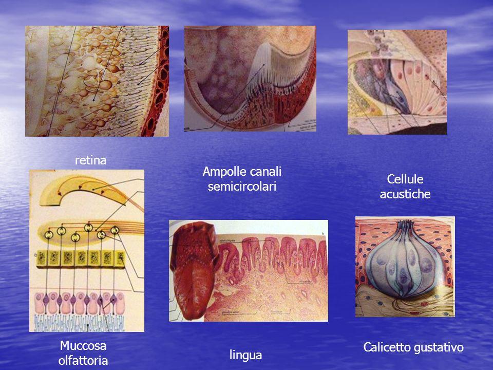 retina Ampolle canali semicircolari Cellule acustiche Muccosa olfattoria lingua Calicetto gustativo