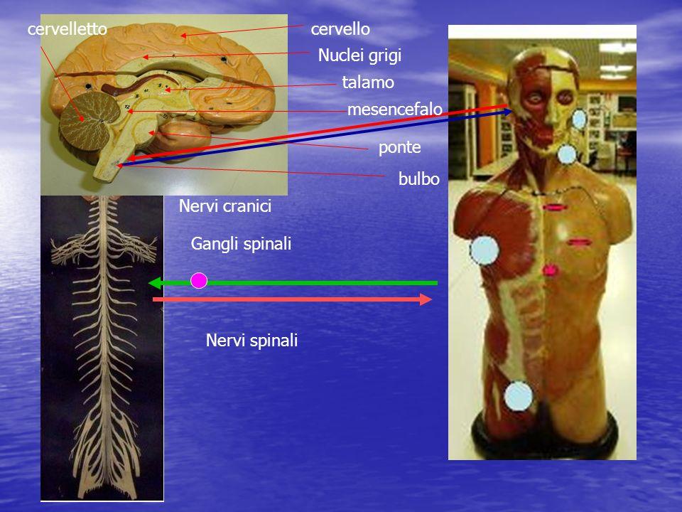 encefalo Midollo spinale Nervi spinali Gangli spinali Nervi cranici