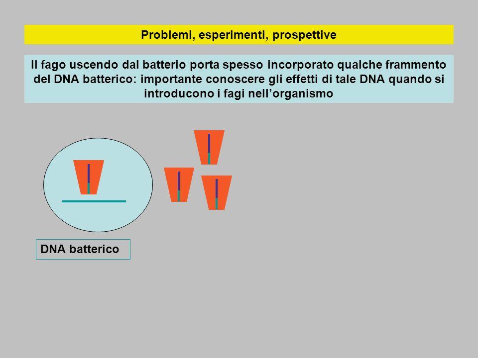 Problemi, esperimenti, prospettive Il fago uscendo dal batterio porta spesso incorporato qualche frammento del DNA batterico: importante conoscere gli effetti di tale DNA quando si introducono i fagi nellorganismo DNA batterico