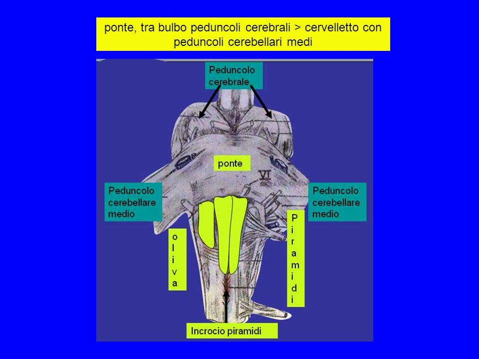 ponte, tra bulbo peduncoli cerebrali > cervelletto con peduncoli cerebellari medi