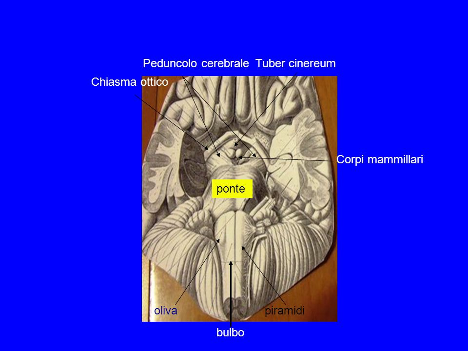 olivapiramidi Peduncolo cerebrale ponte Corpi mammillari Tuber cinereum Chiasma ottico bulbo