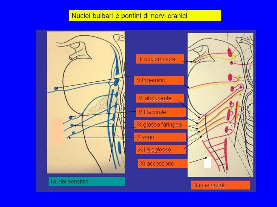 Nuclei bulbari e pontini di nervi cranici