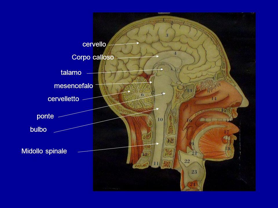 bulbo ponte cervelletto talamo mesencefalo Corpo calloso cervello Midollo spinale