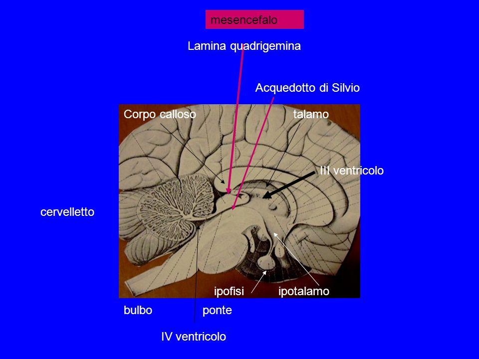 bulboponte cervelletto talamoCorpo calloso ipotalamoipofisi IV ventricolo III ventricolo Acquedotto di Silvio Lamina quadrigemina mesencefalo