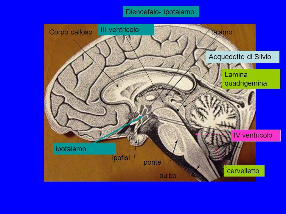 ipofisi ponte bulbo cervelletto talamoCorpo calloso Lamina quadrigemina Acquedotto di Silvio IV ventricolo ipotalamo Diencefalo- ipotalamo III ventricolo