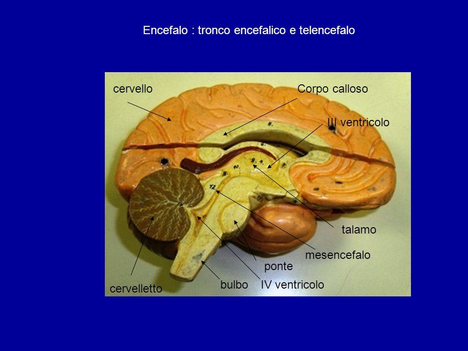 bulbo ponte cervelletto cervello mesencefalo talamo Corpo calloso III ventricolo IV ventricolo Encefalo : tronco encefalico e telencefalo