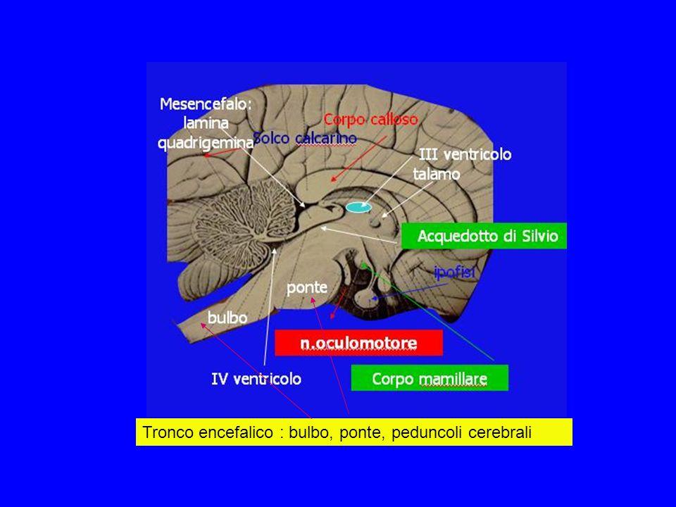 Tronco encefalico : bulbo, ponte, peduncoli cerebrali