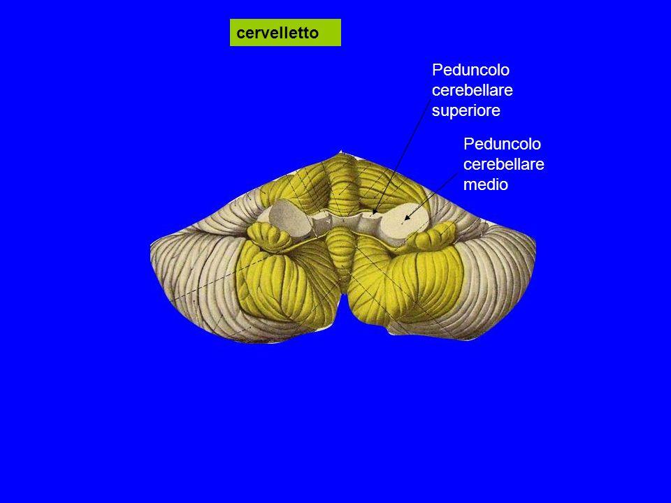 cervelletto Peduncolo cerebellare medio Peduncolo cerebellare superiore