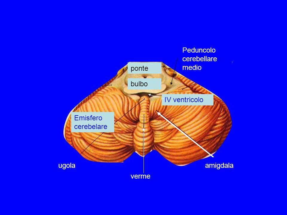 ponte bulbo Peduncolo cerebellare medio IV ventricolo amigdala verme ugola Emisfero cerebelare