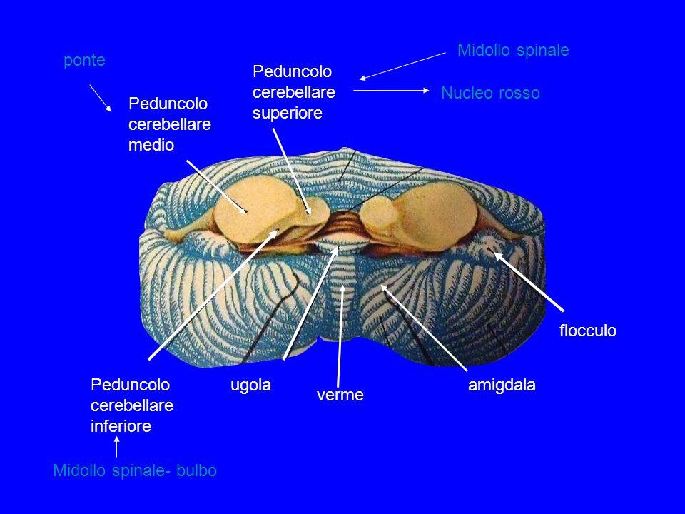 Peduncolo cerebellare medio Peduncolo cerebellare inferiore Peduncolo cerebellare superiore verme ugola flocculo amigdala Nucleo rosso Midollo spinale- bulbo ponte Midollo spinale
