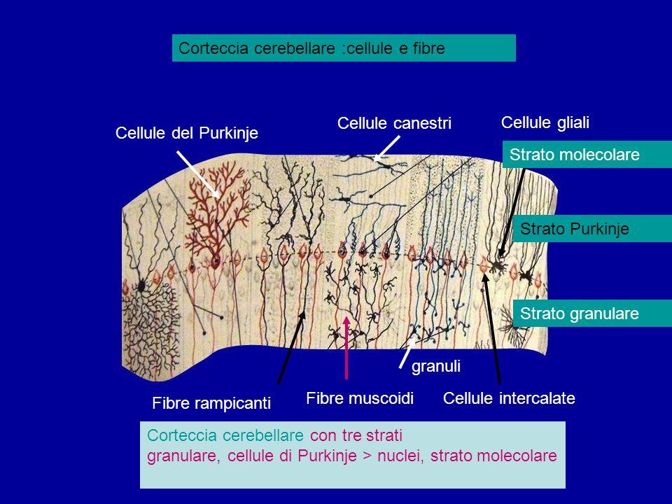 Corteccia cerebellare :cellule e fibre Fibre muscoidi granuli Cellule del Purkinje Cellule canestri Cellule gliali Fibre rampicanti Cellule intercalat