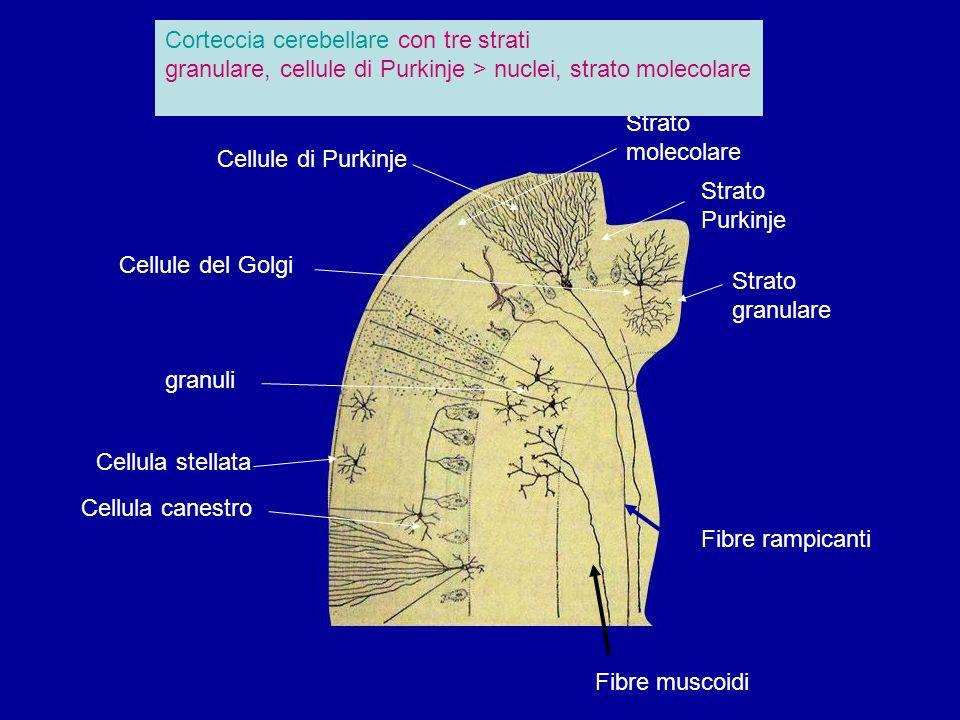 Cellule di Purkinje granuli Cellula canestro Strato molecolare Strato granulare Cellula stellata Strato Purkinje Cellule del Golgi Fibre rampicanti Fibre muscoidi Corteccia cerebellare con tre strati granulare, cellule di Purkinje > nuclei, strato molecolare