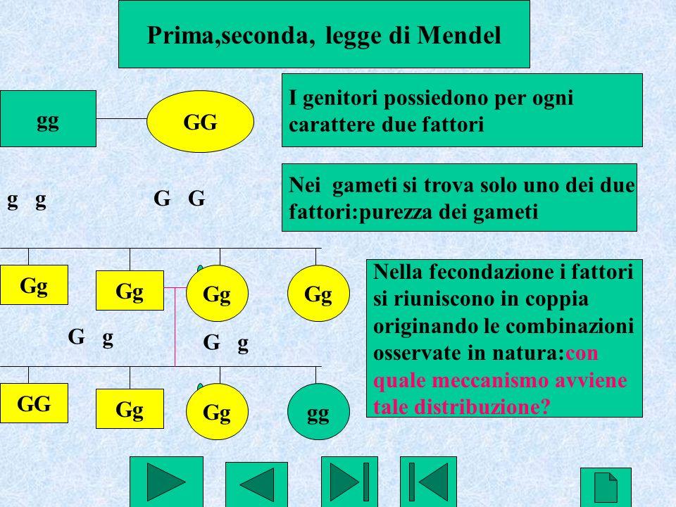 22 Prima,seconda, legge di Mendel gg GG I genitori possiedono per ogni carattere due fattori g G Nei gameti si trova solo uno dei due fattori:purezza