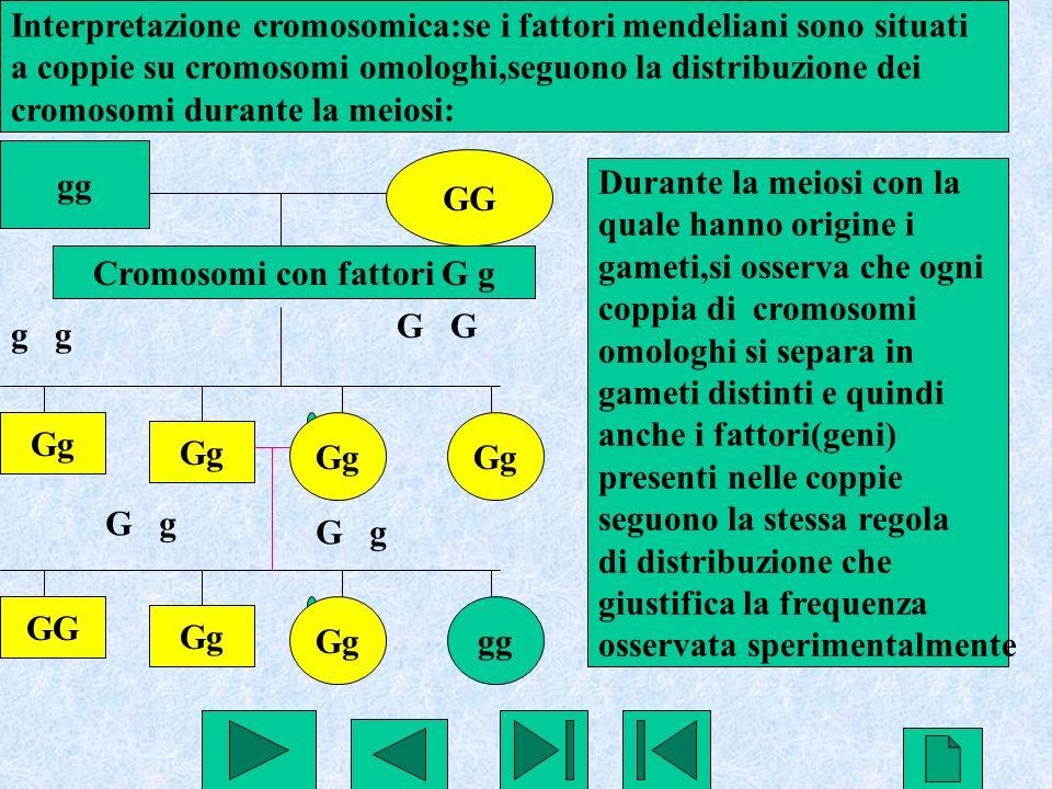 23 gg GG g G Gg GG Gg gg G g Interpretazione cromosomica:se i fattori mendeliani sono situati a coppie su cromosomi omologhi,seguono la distribuzione
