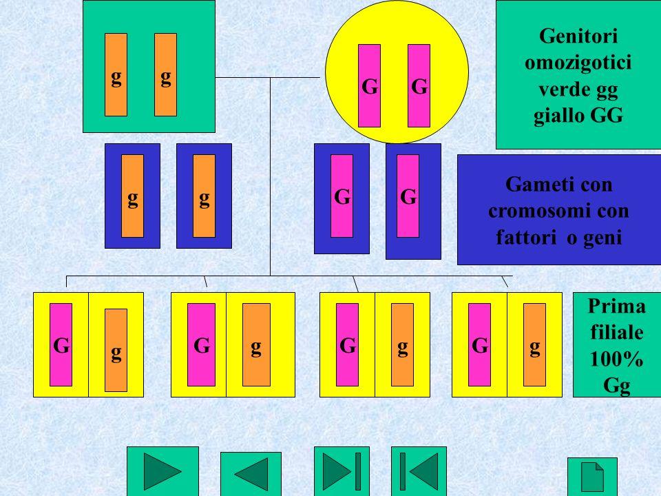 24 gg GG ggGG G g GgGgGg Genitori omozigotici verde gg giallo GG Gameti con cromosomi con fattori o geni Prima filiale 100% Gg