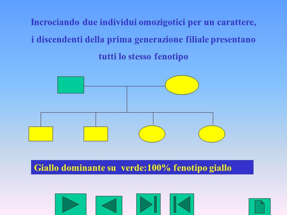 3 Incrociando due individui omozigotici per un carattere, i discendenti della prima generazione filiale presentano tutti lo stesso fenotipo Giallo dom