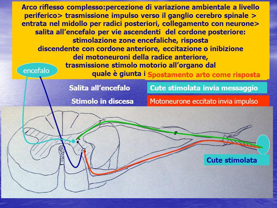Arco riflesso complesso:percezione di variazione ambientale a livello periferico> trasmissione impulso verso il ganglio cerebro spinale > entrata nel