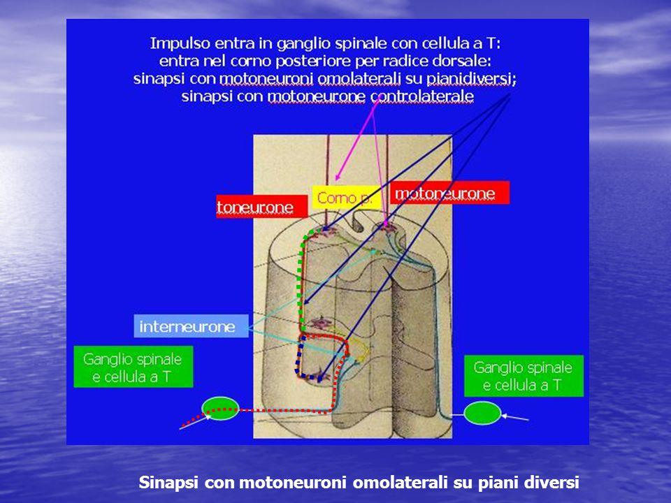 Sinapsi con motoneuroni omolaterali su piani diversi