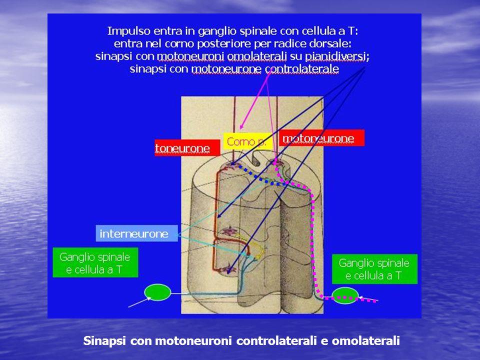 Sinapsi con motoneuroni controlaterali e omolaterali