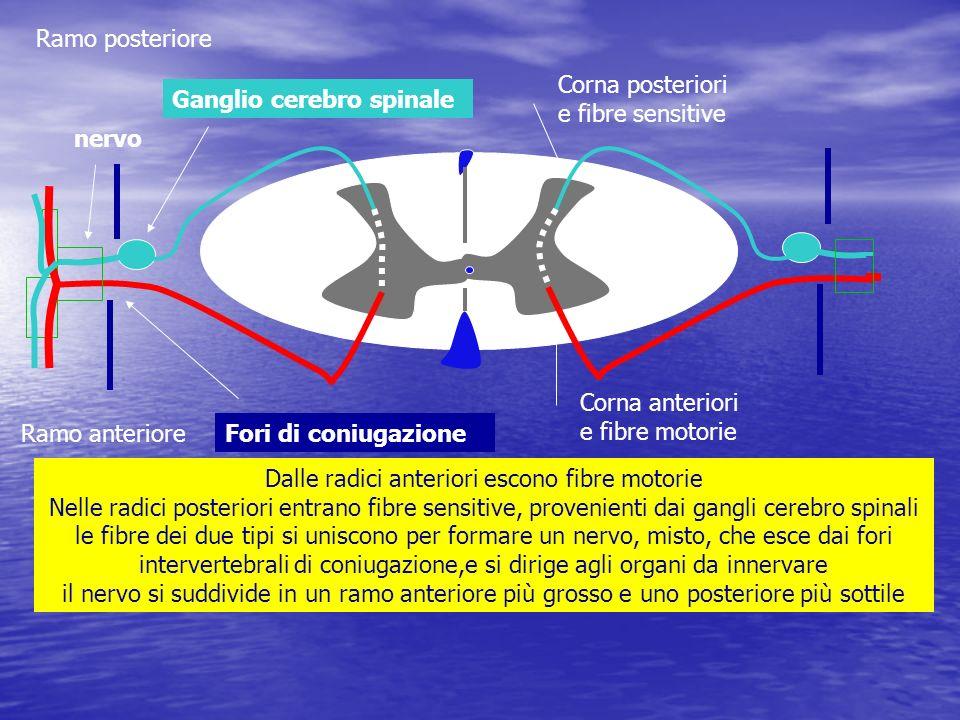 cellule a neurite breve 2° tipo di Golgi: i neuriti rimangono solo nella sostanza grigia Cellule radicolari motrici somatiche:nuclei nelle radici anteriori: i neuriti escono con le radici anteriori e innervano,in senso motorio, i muscoli somatici Cellule radicolari motrici viscerali o pregangliari:zona intermedia della sostanza grigia, collegate a gangli simpatici, e innervano gli organi periferici con funzione vegetativa simpatica Cellule dei cordoni o funicolari: diffusi nella sostanza grigia: i loro neuriti, rivestiti di guaina mielinica, possono collegare attraverso i cordoni omolaterali o controlaterali, regioni diverse della sostanza grigia del midollo o i centri encefalici Nel corno posteriore e zona intermedia: cellule a funzione associativa tra neuroni del midollo cellule del nucleo proprio:generano il fascio spino-talamico crociato cellule del nucleo spino-cerebellare cellule del nucleo reticolo-spinale, associative cellule dei nuclei intermedio laterale, mioleiotico mediale > gangli simpatico