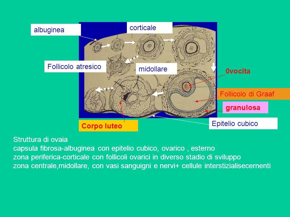 Struttura di ovaia capsula fibrosa-albuginea con epitelio cubico, ovarico, esterno zona periferica-corticale con follicoli ovarici in diverso stadio d