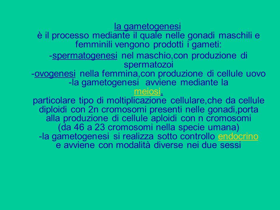 la gametogenesi è il processo mediante il quale nelle gonadi maschili e femminili vengono prodotti i gameti: -spermatogenesi nel maschio,con produzion