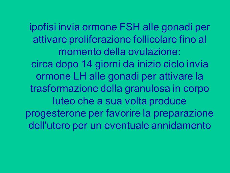 ipofisi invia ormone FSH alle gonadi per attivare proliferazione follicolare fino al momento della ovulazione: circa dopo 14 giorni da inizio ciclo in
