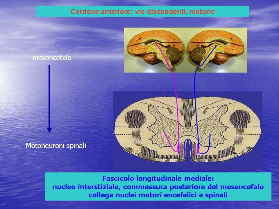 Cordone anteriore: vie discendenti, motorie Fascicolo longitudinale mediale: nucleo interstiziale, commessura posteriore del mesencefalo collega nuclei motori encefalici e spinali mesencefalo Motoneuroni spinali