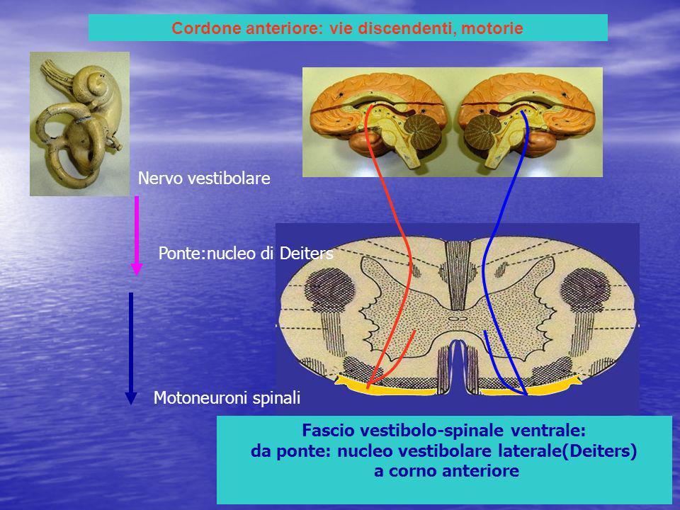 Cordone anteriore: vie discendenti, motorie Fascio vestibolo-spinale ventrale: da ponte: nucleo vestibolare laterale(Deiters) a corno anteriore Nervo vestibolare Ponte:nucleo di Deiters Motoneuroni spinali