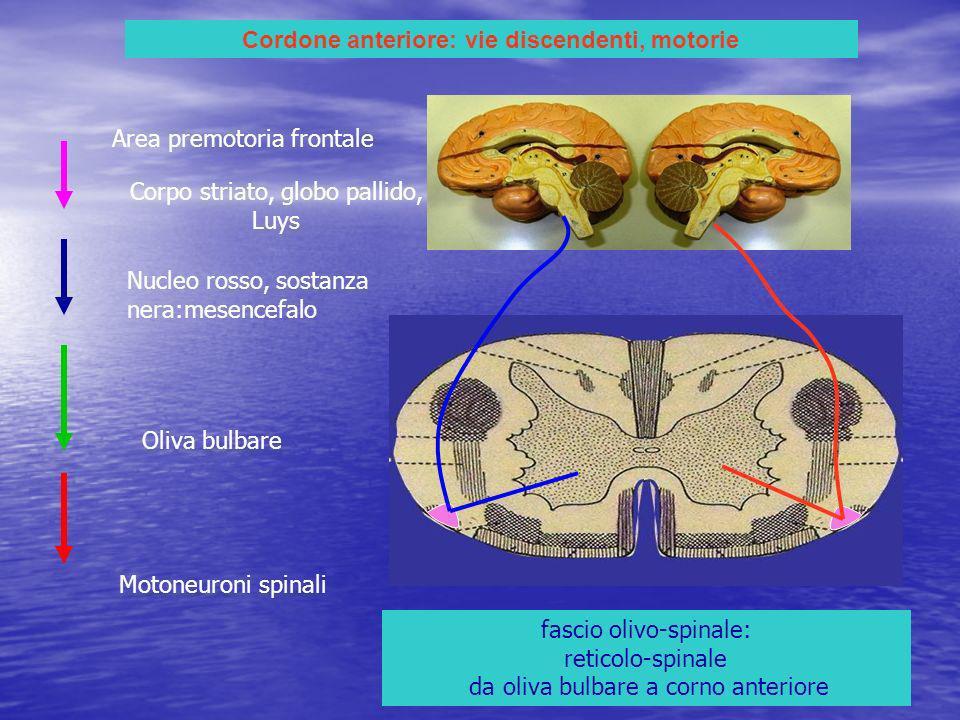 Cordone anteriore: vie discendenti, motorie fascio olivo-spinale: reticolo-spinale da oliva bulbare a corno anteriore Area premotoria frontale Motoneu