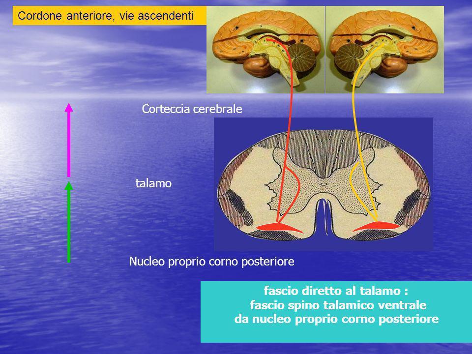 Cordone anteriore, vie ascendenti fascio diretto al talamo : fascio spino talamico ventrale da nucleo proprio corno posteriore Nucleo proprio corno posteriore talamo Corteccia cerebrale