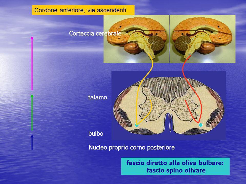 Cordone anteriore, vie ascendenti fascio diretto alla oliva bulbare: fascio spino olivare Nucleo proprio corno posteriore bulbo talamo Corteccia cerebrale