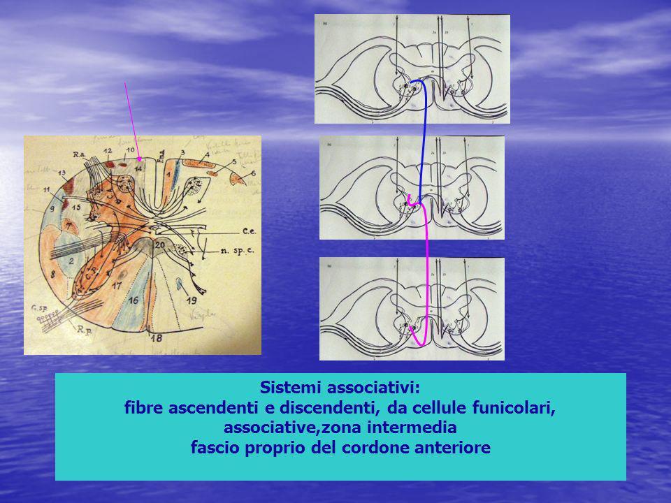 Sistemi associativi: fibre ascendenti e discendenti, da cellule funicolari, associative,zona intermedia fascio proprio del cordone anteriore