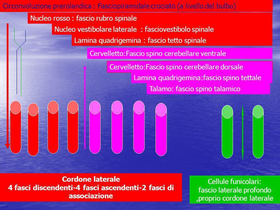 Cordone laterale 4 fasci discendenti-4 fasci ascendenti-2 fasci di associazione Circonvoluzione prerolandica : Fasciopiramidale crociato (a livello de